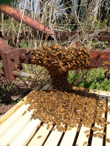 A swarm being removed from farm equipment.